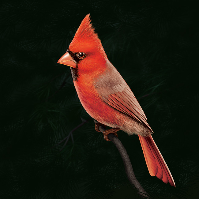 Cardinal, digital artwork by Christopher Johnson.