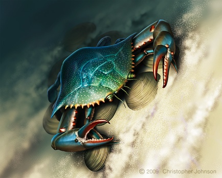 Illustration of blue claw crab and clams underwater, on sandy bottom. Digital artwork by Christopher Johnson.