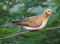Mourning Dove, digital artwork by Christopher Johnson.