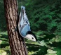 Nuthatch, digital artwork by Christopher Johnson.
