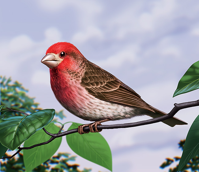 purple Finch, digital artwork by Christopher johnson